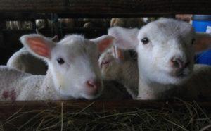Les agneaux attendent leur biberon à la ferme
