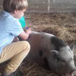 Le cochon Carmen adore les calins à la ferme