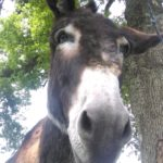 l'âne Black attend ses câlins à la ferme